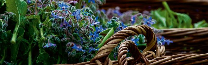 Dr.Hauschka Lexicon van heilzame planten - Bernagie