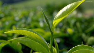 Thee - Camellia sinensis
