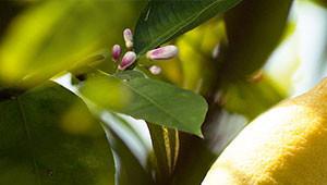 Citroen - Citrus limon