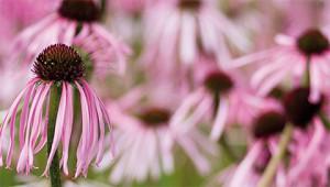 Echinacea - Echinacea pallida