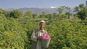 Dr.Hauschka Etherische rozenolie uit Afghanistan