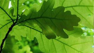 Zomereik - Quercus robur