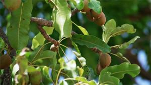 Sheaboom - Butyrospermum parkii