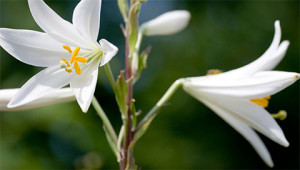 Madonnalelie - Lilium candidum