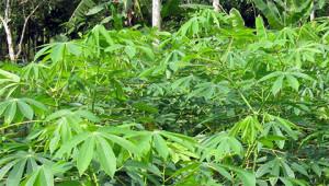 Cassave - Manihot esculenta