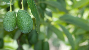 Avocado - Persea gratissima