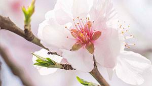 Amandelboom - Prunus dulcis