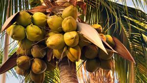 Kokospalm - Cocos nucifera